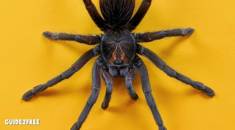 FREE USA Spider Identification Chart